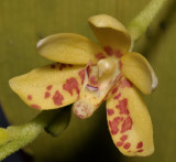Pteroceras muluense. Close-up.