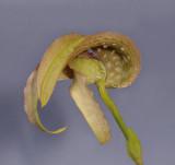 Bulbophyllum grandiflorum. (B. cominsii)