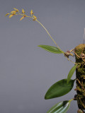 Bulbophyllum callichroma