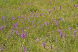 Dactylorhiza majalis subsp. praetermissa and Epipactis growing alongside a road in the City of Utrecht.