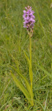 Dactylorhiza praetermissa subsp. praetermissa
