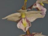 Dendrobium cruttwellii. Close-up.