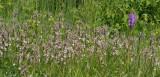 Epipactis palustris and Dactylorhiza praetermissa.