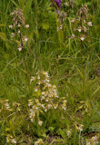 Epipactis palustris and white flowered form.