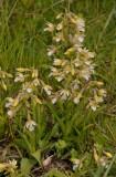 Epipactis palustris white flowered form.