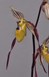 Paphiopedilum philippinense. Closer.