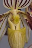 Paphiopedilum philippinense. Close-up.