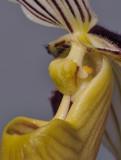 Paphiopedilum philippinense. Close-up side.