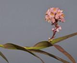 Polystachya rhodoptera aff. Closer.