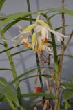 Thunia alba subsp. alba
