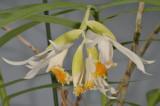 Thunia alba subsp. alba. Closer.