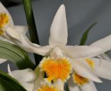 Thunia alba subsp. alba. Close-up.