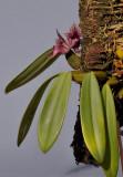 Bulbophyllum agastor