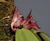 Bulbophyllum agastor. Close-up side.