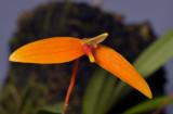 Bulbophyllum hodgsonii. Close-up.