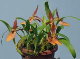 Bulbophyllum rugosum