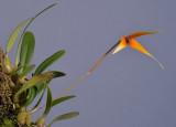 Bulbophyllum stormii