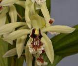 Coelogyne X Albanensis. Close-up.