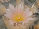 Lophophora williamsii. Close-up.