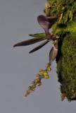 Abdominia sp. 20070210.jpg