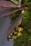 Abdominia sp. Closer. 20070210.jpg
