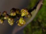 Abdominia sp. Close-up. 20070210.jpg