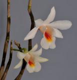 Dendrobium christyanum. Closer.