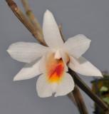 Dendrobium christyanum. Close-up.