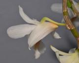 Dendrobium christyanum. Close-up side.