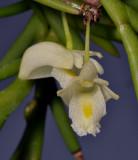 Dendrobium mannii. Close-up.