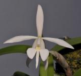 Epidendrum falcatum. Closer.