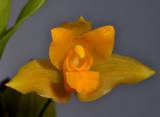 Lycaste cochleata. Close-up.