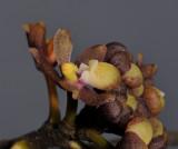Pomatocalpa marsupiale. Close-up.