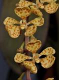 Rhinerrhizopsis moorei. Close-up.