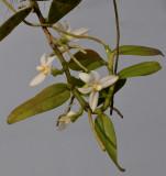 Thrixspermum calceolus