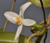 Thrixspermum calceolus. Close-up.