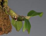 Bulbophyllum bicaudatum aff.