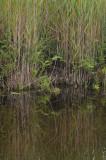 Aldrovanda habitat.