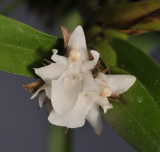 Agrostophyllum superpositum. Closer.