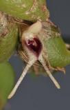 Bulbophyllum bicaudatum aff. Close-up side.
