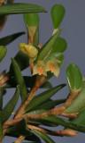 Bulbophyllum mutabile