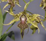 Dendrobium alexandrae. Close-up.