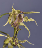 Dendrobium alexandrae. Close-up side.