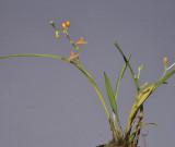 Liparis torricellensis