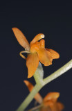 Liparis torricellensis. Close-up.