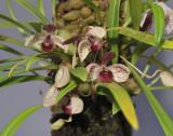 Pedilochilus guttulatus. Closer.