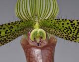 Paphiopedilum sukhakulii. Close-up.
