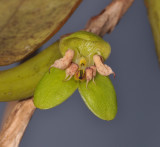 Bulbophyllum macrorhopalon. Close-up front.