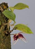 Bulbophyllum reticulatum