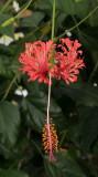 Hibiscus schizopetalis